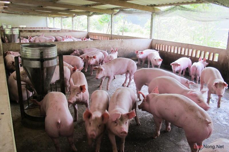 Quy trình chăn nuôi heo, chăn nuôi lợn theo phương pháp hữu cơ