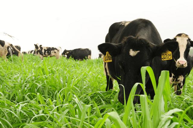 Quy trình chăn nuôi bò thịt, bò sữa theo phương pháp hữu cơ
