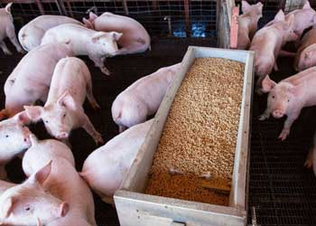 Công bố hợp quy thức ăn chăn nuôi: Quy trình, hồ sơ, thủ tục