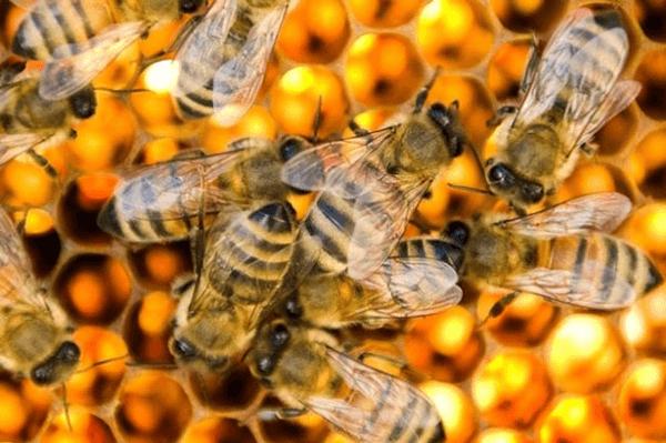 Quy trình chăn nuôi ong theo phương pháp hữu cơ