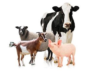 Kinh nghiệm áp dụng VIETGAP chăn nuôi hiệu quả tại trại nuôi