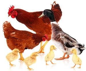 Quy trình chăn nuôi gia cầm theo phương pháp hữu cơ